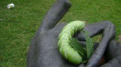 Hornworms in the garden. What do you do?