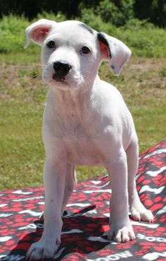 Meet Ozzie 20250 a Petfinder adoptable American Bulldog Dog | Prattville, AL | Ozzie is a 9-week-old male American Bulldog/Bluetick Coonhound. He is white with some black...