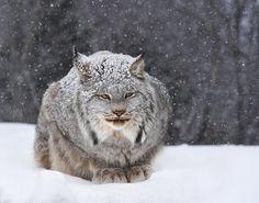 Canadian Lynx - lynx stays warm in -30°C snowstorm, me... not so much!