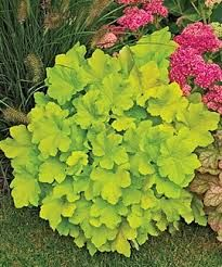 coral bells citronelle (lime green) At last, a vigorous heat and humidity tolerant variety with stunning lime-yellow foliage! Creamy white bloom spikes add interest in summer. The large, colorful leaves on a low, clumping form create stunning contrast in the garden. A superb choice for containers and perennial borders in bright or dappled shade.