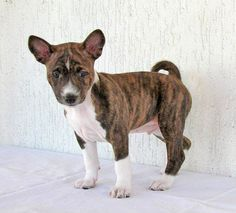 Pet Lovers Beware of Internet Puppy Scams: Are you a pet lover looking for the perfect pure-bred puppy to purchase? If so be aware as scammers are posting adverts of cute an. Perros Basenji, Basenji Puppy, Italian Greyhound, Chi Chi, Pet Dogs, Dog Cat, Pets, Cute Puppies, Dogs And Puppies
