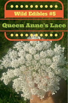 Wild Edibles #5 Queen Anne's Lace Wild Carrot (video)