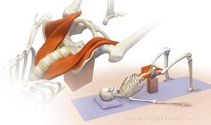 Image result for psoas muscle diagram