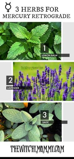 3 Herbs to Use for Mercury Retrograde #witchcraft #magick #mercuryretrograde #herbs #craftingmagick #thewitchymommy #lemonbalm #lavender #sage #herbalremedy