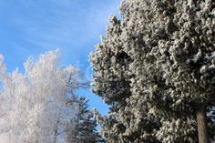 Magic trees in the frost.