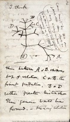 In London, from 1837, Darwin began to speculate about where species come from. This is a page from his Notebook B showing the first evolutionary tree diagram.