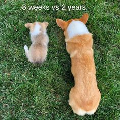 All About Pembroke Welsh Corgis Puppies pembroke welsh corgi facts Baby Corgi, Cute Corgi Puppy, Welsh Corgi Puppies, Corgi Funny, Pembroke Welsh Corgi, Corgi Facts, Purebred Dogs, Working Dogs, Dogs