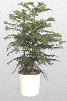 Propagate #HousePlants: Start New Norfolk Pine Using Cutting From Top 4
