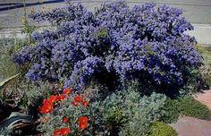 "Native Plant Spotlight: Ceanothus 'Dark Star' – California Lilac Dark Star ""8' high & 6' wide, becoming tree-like with age. 'Dark Star' looks particularly striking when planted adjacent to grey foliage or white flowers, & is better suited to coastal gardens than inland areas. A wonderful habitat plant for butterflies, hummingbirds, & quail, Ceonothus are drought tolerant, clay tolerant, deer resistant, FRAGRANT, & EASY. Once established, no summer water is required."""