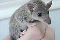 Short Tailed Opossum Pet Guide: Housing & Feeding