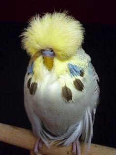 How cool is this bird! English Budgerigars Daniel Lütolf Switzerland