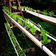The secret to perfect lettuce  and zero chemicals:  GROW THEM OFF THE GROUND!  In this system I plant fertilize water  harvest rinse  repeat THAT'S IT!  Who has time to weed  and fight off bugs  anyway? Efficiency is intelligent laziness!  Double tap if y