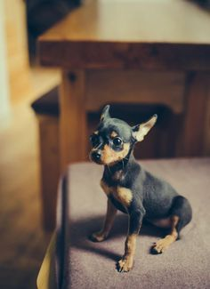 Miniature Pinscher Min Pin * More info about pet dogs could be found at the image url.