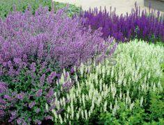 Nepeta, Saliva, and Nepeta sub. Landscape Design, Garden Design, Salvia, Garden Projects, Garden Plants, Garden Landscaping, Perennials, Planting, Gardening