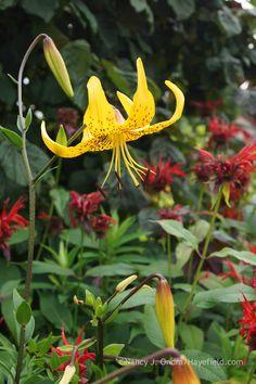 Lilium leichtlinii kombiniert mit Monarda 'Jacob Cline' (Nancy J. Ondra in…