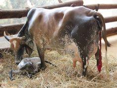 scale gyr cow that calved with calf Gado Leiteiro, Zebu Cattle, Livestock Judging, Sumatran Rhino, Bucking Bulls, Forest Habitat, Gyr, Tropical Forest, Horses