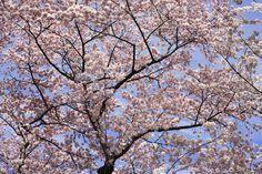 Blooming Cherry Tree - Wall Mural & Photo Wallpaper - Photowall