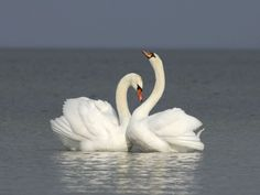 Love and friendship Nature Animals, Animals And Pets, Cute Animals, Pretty Birds, Beautiful Birds, Beautiful Images, Swan Pictures, Swan Love, Mute Swan