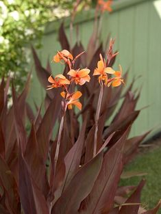 canna-dramatic-foliage-orange-blooms-fcc804ff Clay Soil Plants, Planting In Clay, Planting Flowers, Best Perennials, Flowers Perennials, Perennial Geranium, Perennial Grasses, Prairie Planting, Backyard Ideas For Small Yards