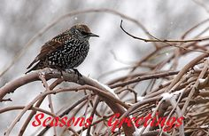 Speckles - Seasons Greetings - Guelph Ontario Canada #art #photography #holidaycard #greetingcard #christmascard #merrychristmas #birdcard #birds #starling