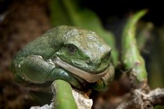Mexican Giant Tree Frog 09-28-12 by PACsWorld, via Flickr