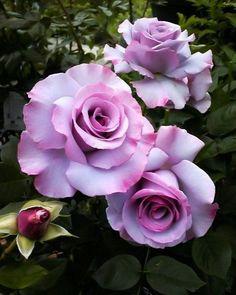 #floribunda #gülü #dioressence #rose