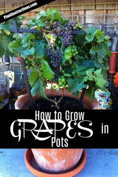 Growing Tomatoes In Pots Grow Grapes in Pots - Today we'll show you how to grow grapes in pots, which is an excellent way to grow them especially if you're lacking space or you live in a cold climate. Growing Fruit Trees, Growing Grapes, Growing Plants, How To Grow Grapes, Grape Vine Plant, Grape Tree, Grape Vines, Growing Tomatoes In Containers, Growing Vegetables
