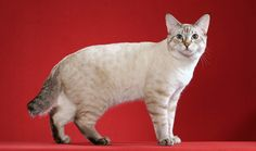 American Bobtail Cat Breed Information American Curl, Kittens Cutest, Cats And Kittens, Cute Cats, Cat Exercise Wheel, American Bobtail Cat, Japanese Bobtail, Cat Anatomy, Kitty Cats