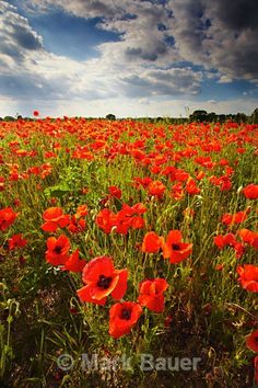 Poppies, Hanging Langford - Wiltshire
