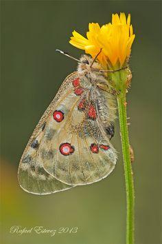 P. apollo pyrenaicus