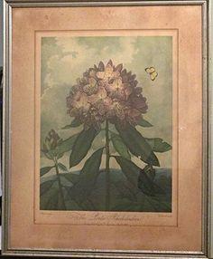 "Dr. Robert John Thornton ""The Pontic Rhododendron"" : Lot 440"