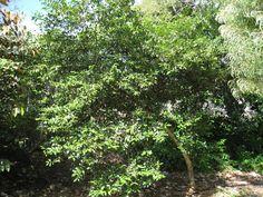 Alahe'e Psydrax odorata - sm. tree/shrub - fragrant flowers