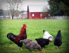 Chickens in the yard. Always makes me happy.