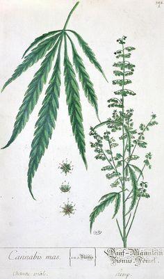 Cannabis mas and Cannabis foemina, from 'Herbarium Blackwellianum', 1757 (pen & ink and w/c on paper)