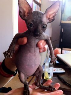 Cutest thing ever. Sphinx cat.