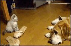 Katt vs hund – vem vinner? #dog #cat #animals