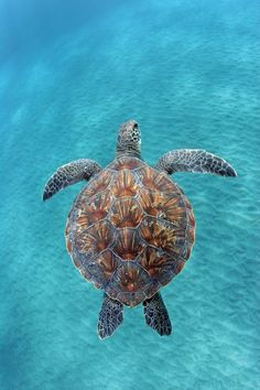 (Hawaiian Green Sea Turtle) sea life, animals, ocean, ocean life, aquatic animals, marine biology, water, under water life #sealife #marine