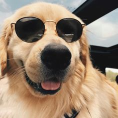 Henk black from TIJN summer sunglasses collection. //Wearing by Dog With Glasses, Cute Glasses, Glasses Frames, Cute Fluffy Dogs, Cute Dogs, Perros Golden Retriever, Cat Eye Colors, Cute Dog Photos, Summer Dog