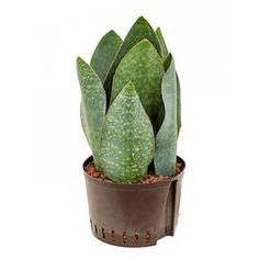 Sansevieria Congo - Hydrocultuur - New Ideas Snake Plant Propagation, Sansevieria Plant, Cacti And Succulents, Cactus Plants, Garden Plants, Unique Plants, Cool Plants, Indoor Garden, Indoor Plants