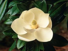 Everything You Need to Know About the Magnolia Tree --> http://www.hgtvgardens.com/magnolia-tree?soc=pinterest