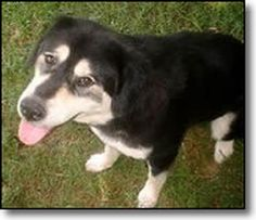 Tibetan Mastiff Rescue, Inc. - Wren's Rescue Success Story - Click on Pic