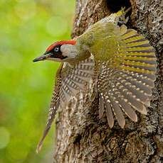 Green Woodpecker, Pic Vert, Woodpeckers, Taxidermy, Bird Feathers, Bird Houses, Collages, Birds, Nature