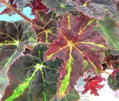 Begonia Chivalry