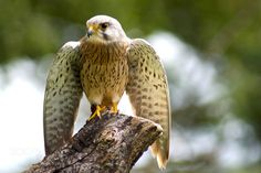Kestrel spreading its wings by Steve Cole