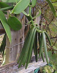 Vanilla beans on the vine