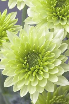 Chrysanthemum - stacked petals with gradient from centre