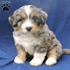 Mini Bernedoodle Puppy in Dundee, OH