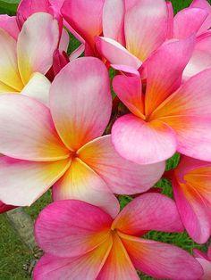 Happy Plumerias (by Pink Hibiscus)