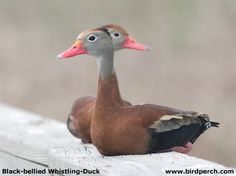Black Bellied Whistling Duck Pair