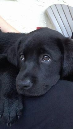 """Adorable Labrador Retriever Puppies You've Ever Seen"""" Not much is cuter than a black lab puppy (well, and GSD puppies, too). Black Lab Puppies, Cute Puppies, Cute Dogs, Dogs And Puppies, Doggies, Poodle Puppies, Funny Dogs, Baby Animals, Cute Animals"""
